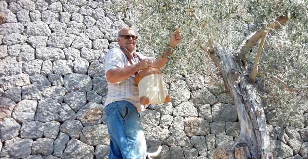 Recolectando olivas | Hotel es port soller